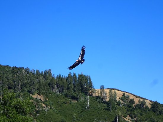 Salinas, CA: A picture of a Condor my daughter saw from camp!