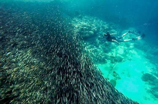 The Ultimate Rush: Moalboal Sardine...