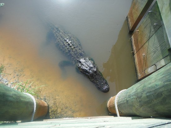 Savannah National Wildlife Refuge: Just one of over 20 gators in one section