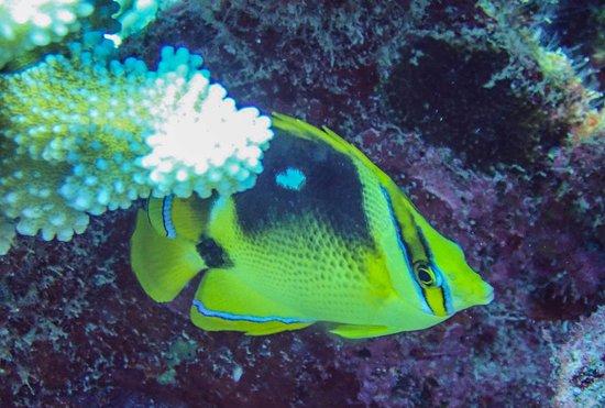 Mahana Dive: Papillon
