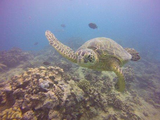 tortue de mer ホノルル オアフ ダイビングの写真 トリップアドバイザー