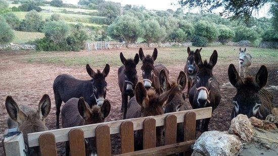 Alaior, Spania: Los burritos de Menorca Donkey Rescue esperando su comida.