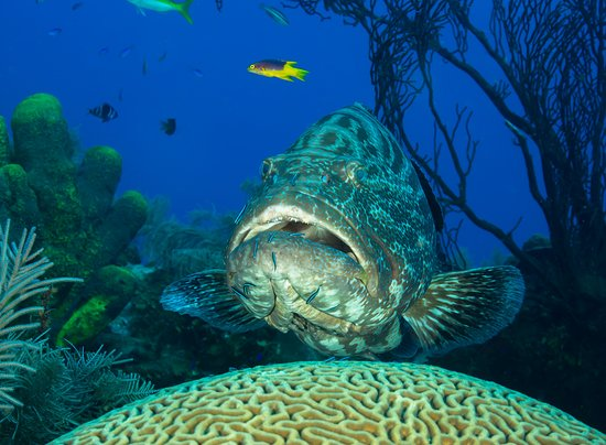 Turneffe Island, Belize: Grouper at a cleaning station