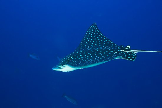Turneffe Island, Belize: Spotted Eagle Ray