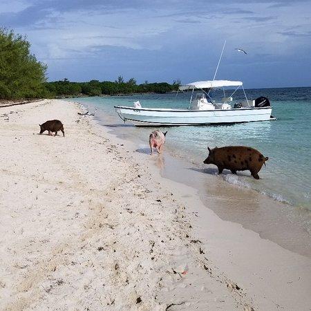Treasure Cay Beach, Marina & Golf Resort: piggyville at no name island