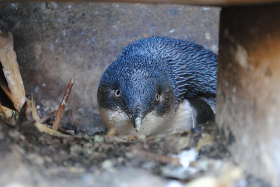 Oamaru, New Zealand: Little Blue Penguin