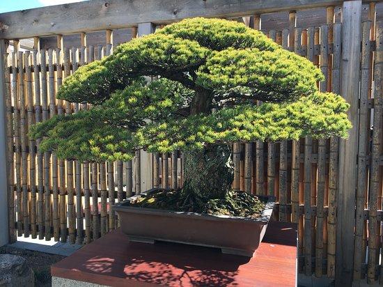 Japanese White Pine Bonsai Picture Of U S National Arboretum Washington Dc Tripadvisor