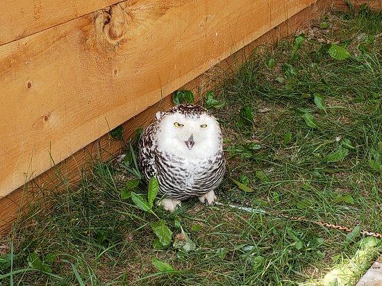 Erin, Canadá: Elsa the snowy owl