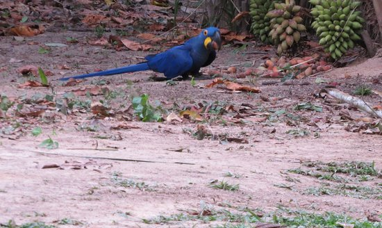 Porto Joffre, MT: Hyacinth macaws eat the fruit of these palms near restaurant