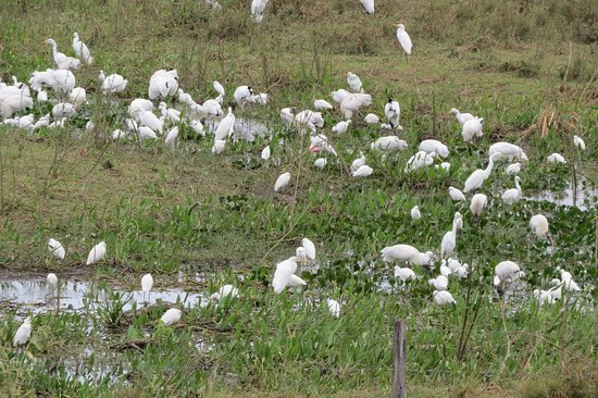 Porto Joffre, MT: Many water birds - wood storks, ibis, egrets ...