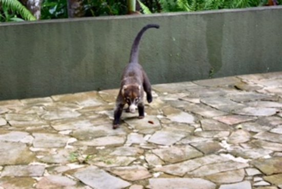 TikiVillas Rainforest Lodge: Coati nicknamed Goliath who visits the grounds! Such a beautiful animal!
