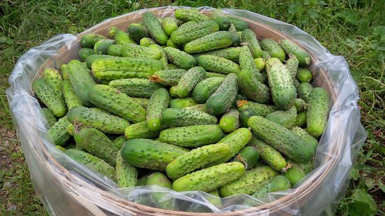 Lombardy, แคนาดา: Happy customers make hundreds of jars of pickles with our fresh, delicious PICKLING CUCUMBERS!