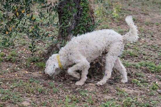 Azienda Agricola Semboloni Fabio: Pippo, the truffle dog.