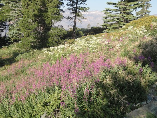 Mt. Tallac Trail: The surprise above the scree field. Meadows of wildflowers.