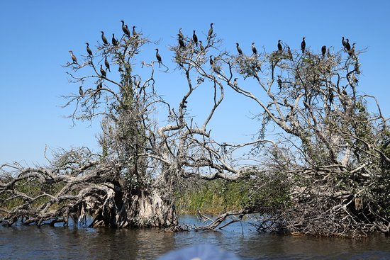 Airboats & Alligators: Water birds perched in trees.