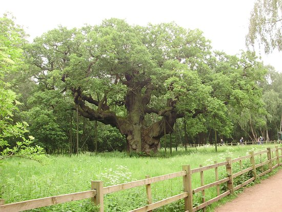 Nottingham Robin Hood Town Tour: Major Oak set in an Ancient forest Look after and Plant more trees