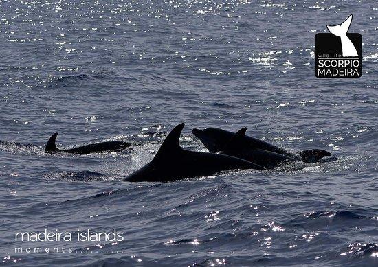 Machico, Portugal: Bottlenose dolphins