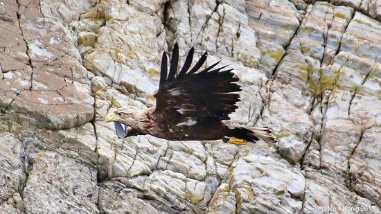 Sea eagle at Runde island
