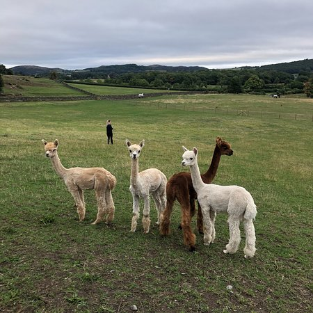 Картмел, UK: Cartmel Alpacas