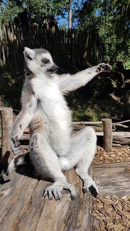 Amersfoort Zoo : Ringstaartmaki in de zon