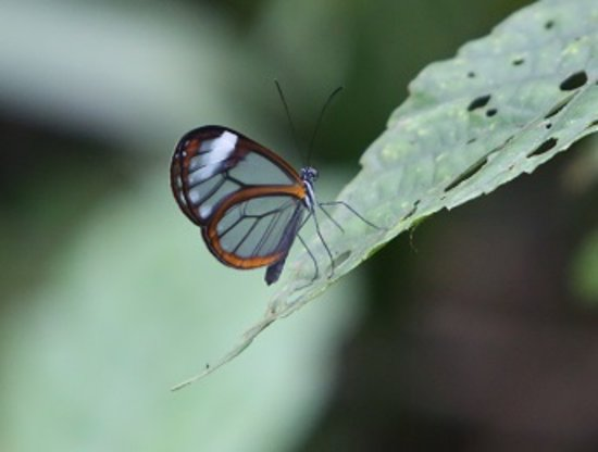 Costa Rica Unique Transfers and Tours: Glasswing Butterfly