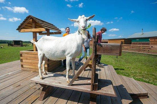 Krasnoyarsk, Russland: коза