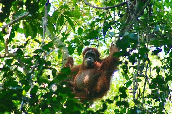 Ketambe Orangutan
