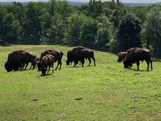 Clinton, Nova York: Harding Farm's Bison Herd