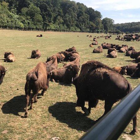 Muchedent, France: Rêve de Bisons