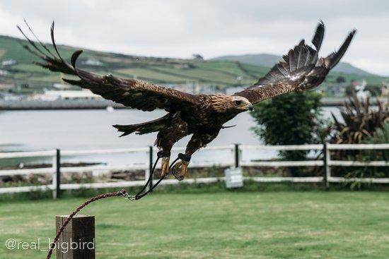Milltown, Ιρλανδία: Dingle Falconry