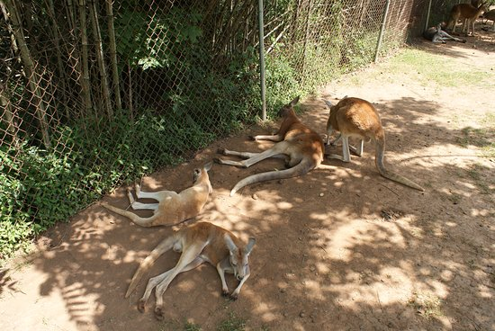 Horse Cave, KY: Kangaroos chilling in the shade
