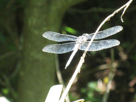 Marbury, Мэриленд: a big dragonfly