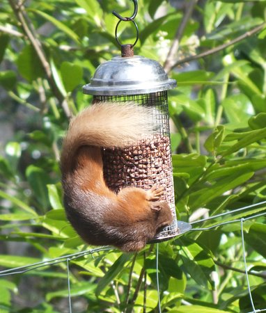 Dores, UK: Red Squirrels In The Pottery House Garden