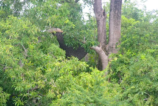 Anini-y, Philippines: A large beehive in the tree.