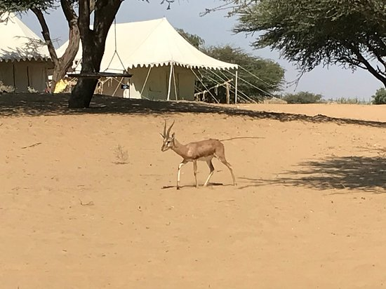 Pokaran, Indien: Camping Site With Deer