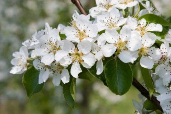Saint-Ouen-du-Tilleul, Frankrig: Fleurs de pommier