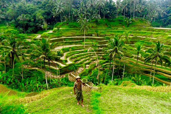 ‪Tegalalang Rice Terrace‬