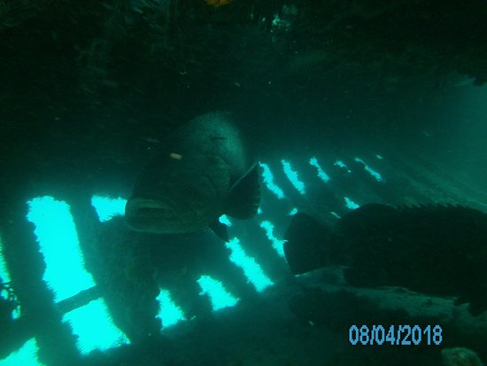 Pura Vida Divers: Goliath groupers hanging out in one of the wrecks