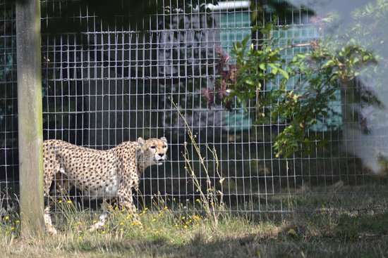 Marwell Zoo: Cheetah
