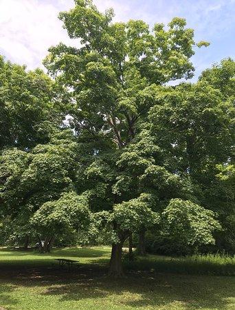 Vandalia, OH: Big trees everywhere!