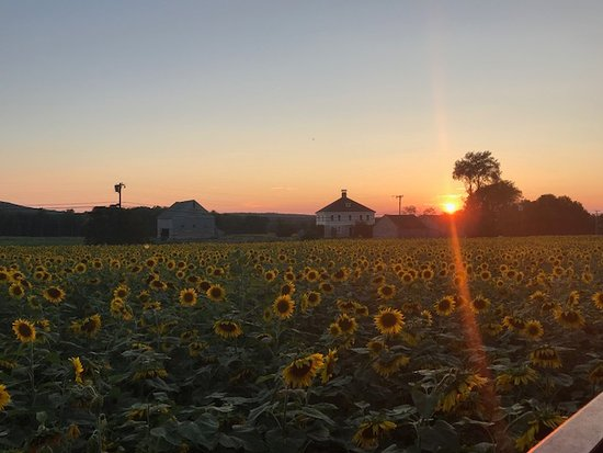 Griswold, CT: Sunset on the sunflower farm