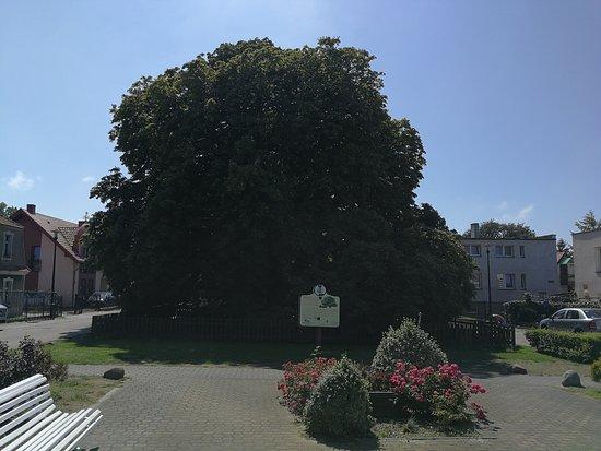 Kasztanowiec Bialy