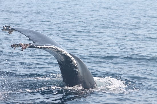 Courtmacsherry, Ireland: HBIRL73 A Humpback whale that spent 4 weeks around coutmacherry bay in July/Aug 2018
