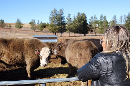 Bredbo, أستراليا: Casual Cow Photoshoot