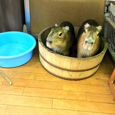 Capybara Land PUIPUI
