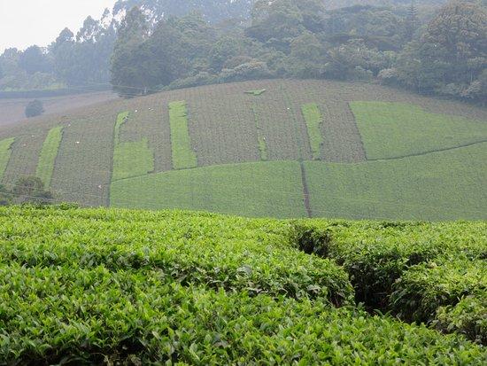 Limuru, Kenya: plantación