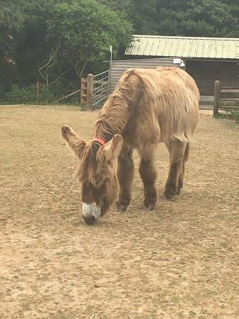 The Donkey Sanctuary: A Pitou donkey at the sanctuary.