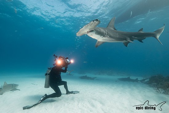 West End, Grand Bahama Island: Great Hammerhead Shark Diving, Bahamas