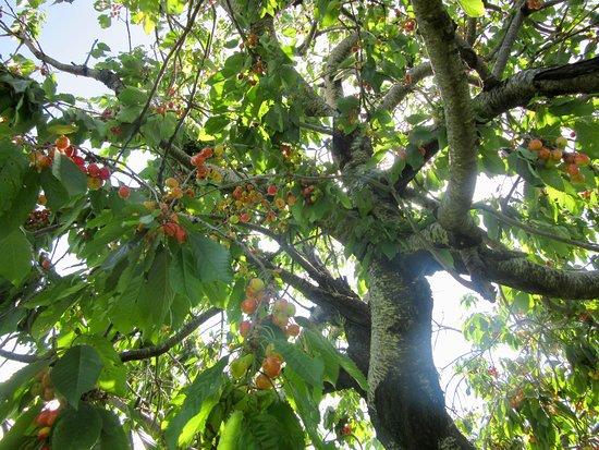 Permet, Albanien: Cherry trees in Frasher