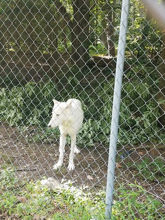 Columbia, NJ: One of the many gorgeous wolves we saw....
